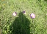 La Piedad. Las amapolas. Foto de Silviano, con todo y su sombra