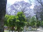 La Piedad. Jacarandas del Parque Morelos,  45