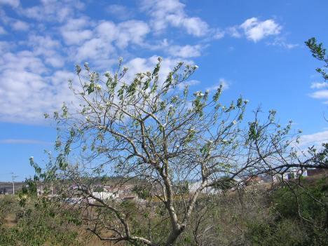 La Piedad. Casahuate floreado, en noviembre. (Foto de Silviano)